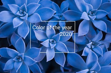 Classic blue color of the year 2020. Succulent plant background with text.