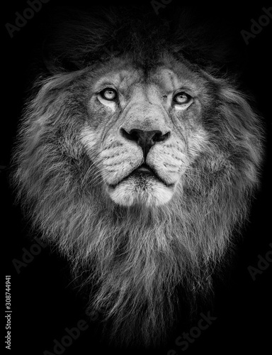 Fototapety, obrazy: Poster black and white lion
