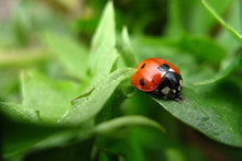 Red-black Ladybug On Green Lea...