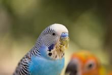 Parakeet (Melopsittacus Undula...