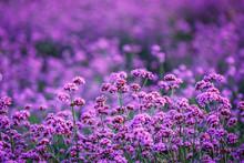 Verbena Bonariensis Flowers Ga...