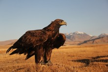 Picture Of A Golden Eagle Read...
