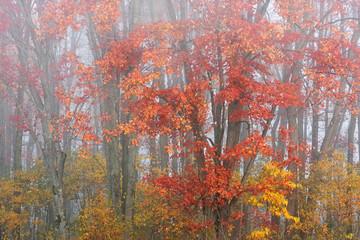 Fototapeta Inspiracje na jesień Landscape of autumn maple trees in fog, Michigan, USA