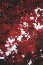 Closeup Vertical Shot Of Beautifully Deep Red Colored Leaves On Branches Of A Tree During Autumn