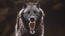 Closeup Of A Black Roaring Wolf With A Huge Mouth And Teeth With A Blurry Background