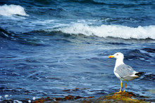 Seagull Portrait Against Sea Shore. White Bird Seagull Sitting By The Beach. Wild Seagull On Blurred Classic Natural Blue Background. Selective Soft Focus.