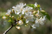 Sweet Cherry, Prunus Avium
