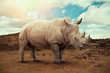 canvas print picture - White rhino in South Africa