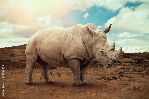 White rhino in South Africa Fototapeta