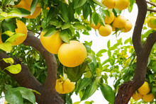 Brunch With Ripe Grapefruits On The Tree