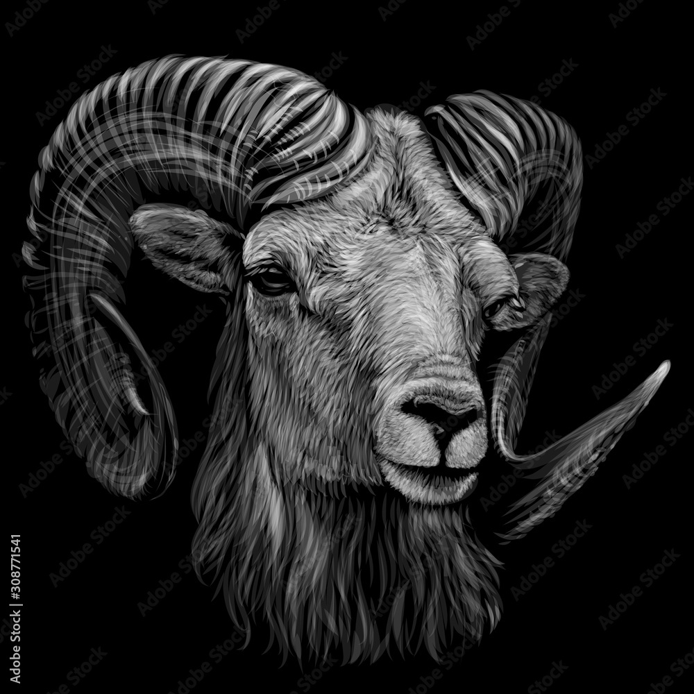 Fototapeta Mountain sheep. Artistic, monochrome, black and white, hand-drawn portrait of a mountain sheep on a black background.