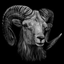 Mountain Sheep. Artistic, Mono...
