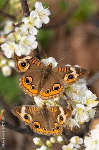 Common Buckeye butterfly pollinating a wild plum flower, with another Buckeye on the same flower cluster below it
