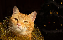 Handsome Festive Ginger Tabby ...