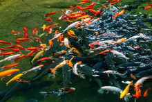 Group Of Colorful Mirror Carp ...