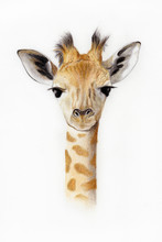 Baby Giraffe Illustration
