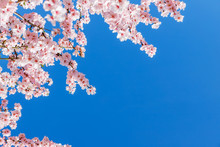 Pink Blossoming Almond Trees On Blue Sky Background. Pink Flowers For Spring Background