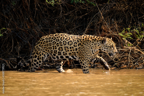 Jaguar female on Rio Cuiaba riverbank, Porto Jofre, Brazil. Fototapet