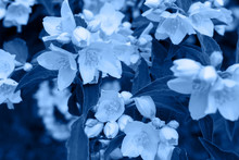 Classic Blue Background Made Of Fresh Jasmine Flowers And Leaves, Copy Space. Color Of The Year 2020. Nature Floral Background