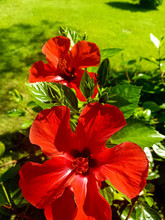 Flowering Shrub With Bright Re...