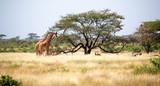 Somalia giraffes eat the leaves of acacia trees