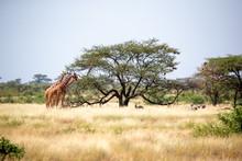 Somalia Giraffes Eat The Leave...