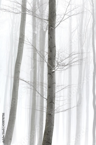 Winter forest with detail of branches, hazy and frosty.
