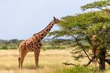 Fototapeta Sawanna - Somalia giraffes eat the leaves of acacia trees