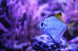 canvas print picture - Beautiful silver moony fish in clear aquarium