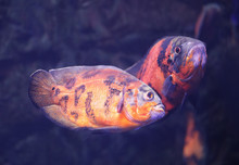 Bright Oscar Fish Swimming In Clear Aquarium