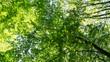 Baumkronen im Sommer