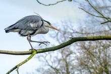 Great Blue Heron Walking On A ...
