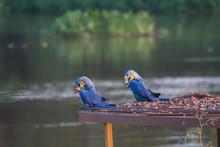 Hyacinth Macaw, Pantanal, Braz...