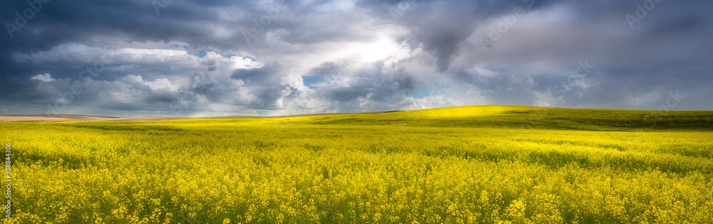 Fototapeta Yellow canola field in the palouse