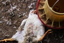 Chicken That Died On A Chicken...