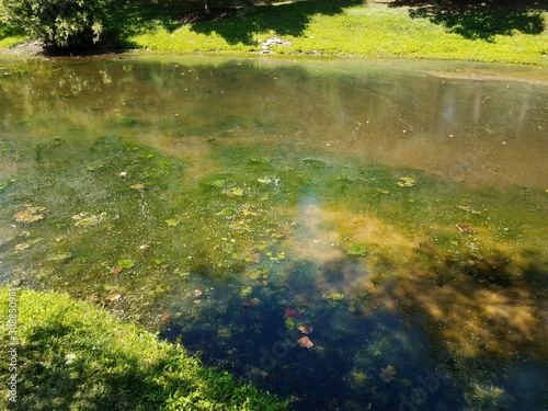 stagnant water in lake or pond with green algae Fototapeta