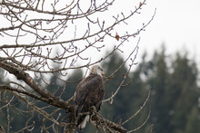 Bald Eagle Perched In Tree By ...