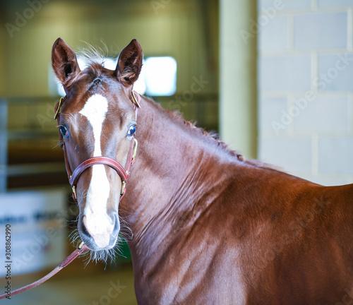 Foal Stud Horse