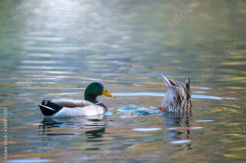 Mallard ducks swimming and feeding in duck pond . Wallpaper Mural