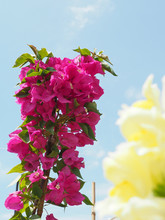 View Of Blossom Spring Dark Pink Bougainvillea Flowers Against The Sky