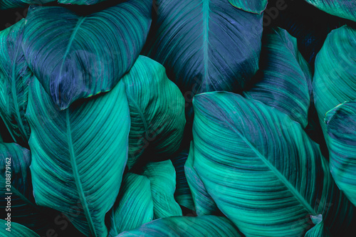 Papier Peint - leaves of Spathiphyllum cannifolium, abstract green texture, nature background, tropical leaf