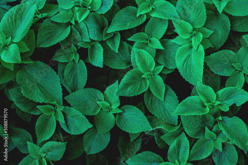 abstract green leaves texture, nature background, dark tone wallpaper