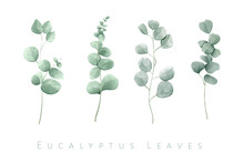 Watercolor Isolated Eucalyptus...