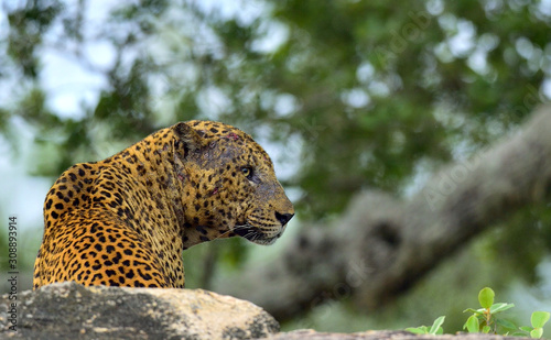 Old Leopard male with scars on the face lies on the rock Canvas Print