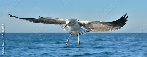 Flying  Juvenile Kelp gull (Larus dominicanus), also known as the Dominican gull and Black Backed Kelp Gull Canvas Print