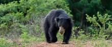 The Sri Lankan Sloth Bear (Mel...