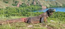 Komodo Dragon. ( Varanus Komod...