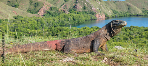 Komodo dragon Billede på lærred