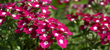 The Bright Verbena Flowers, Pu...