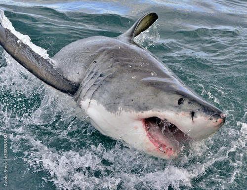 Great white shark, Carcharodon carcharias, with open mouth Wallpaper Mural